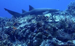 Read more about the article Sharks of Cozumel: Which Types Can Divers See?